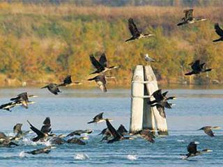 A flock of cormorants. Photo: Emanuele Stival.